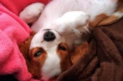 Barrière-bébé pour éviter le chien dans le lit