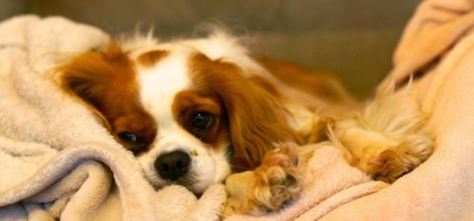 Le traitement de la syringomyélie chez le chien