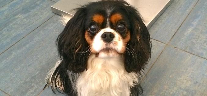 Mon chien chez l'ophtalmo – Opération de l'oeil et ablation du cristallin