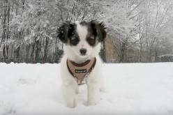 [Vidéo] Un chiot dans la neige ! Karma et Milo jouent